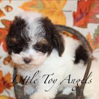 Male Toy Poodle Puppy sold